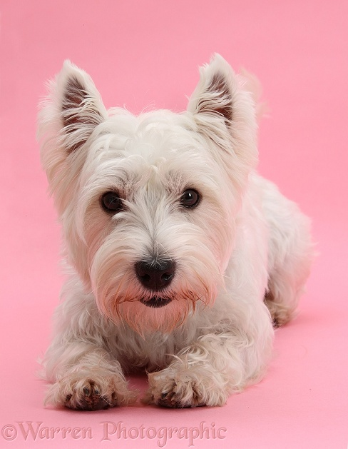 West Highland White Terrier, Betty, lying with head up, on pink background
