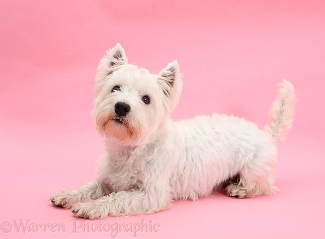 West Highland White Terrier, Betty, lying with head up