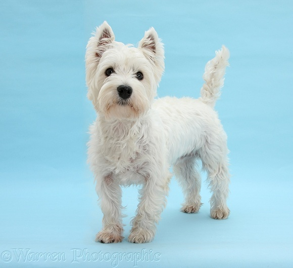 West Highland White Terrier, Betty, standing on blue background