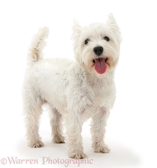 West Highland White Terrier, Betty, standing, white background