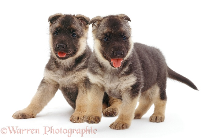 German Shepherd Dog puppies, white background