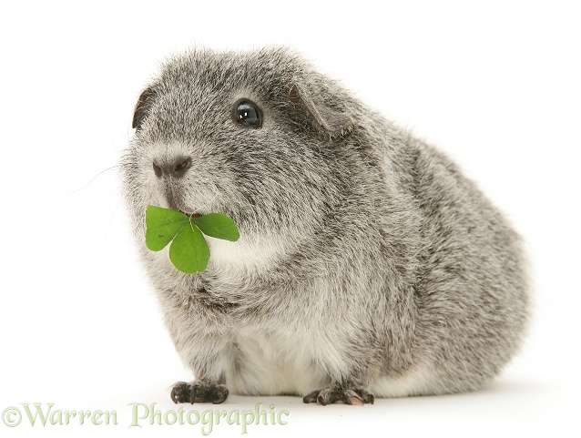 Silver Guinea pig eating a clover leaf, white background