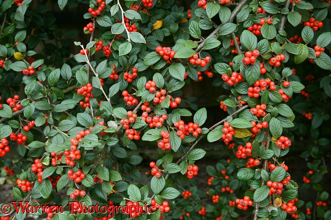 Cotoneaster (Cotoneaster franchettii) berries in October