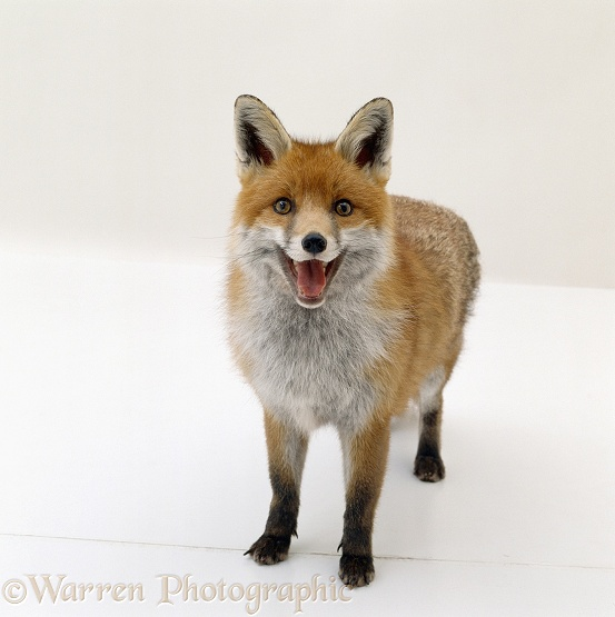Red fox (Vulpes vulpes) vixen panting, white background
