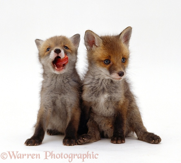 Red Fox (Vulpes vulpes) cubs, 7 weeks old, one licking its lips, white background