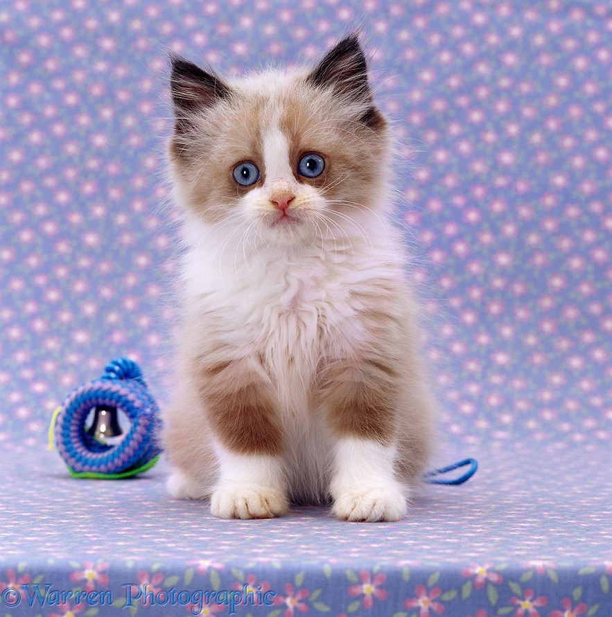 Persian cross kitten, sitting