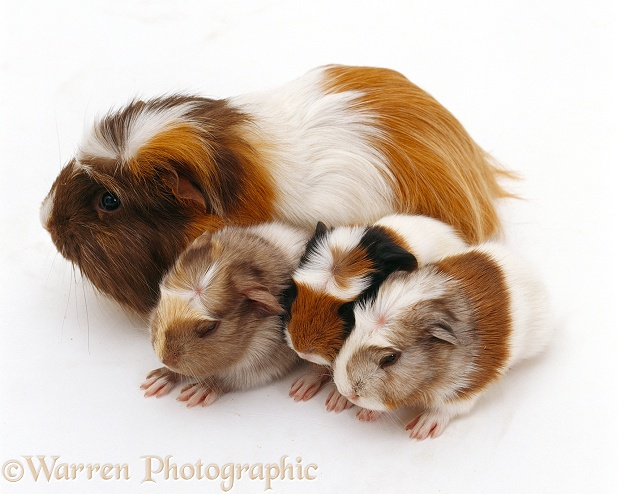 Female crested Guinea pig with three babies, 1 day old, white background