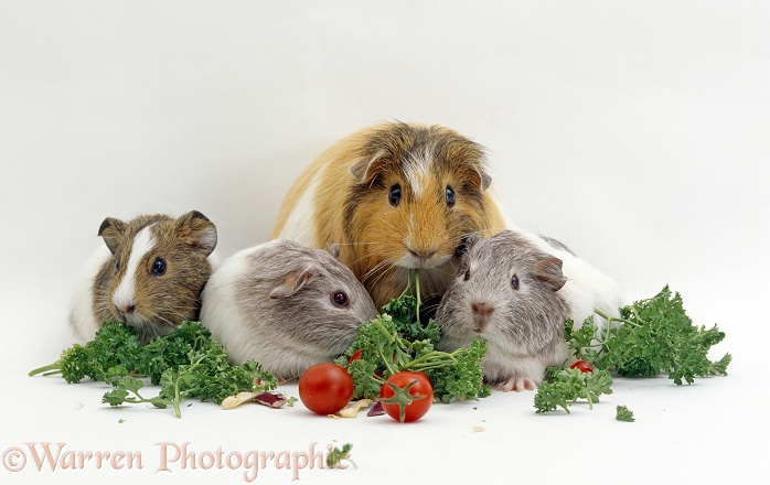 Female shorthair cream-tricolour Guinea pig with three three-weeks-old babies feeding on parsley and tomatoes, white background
