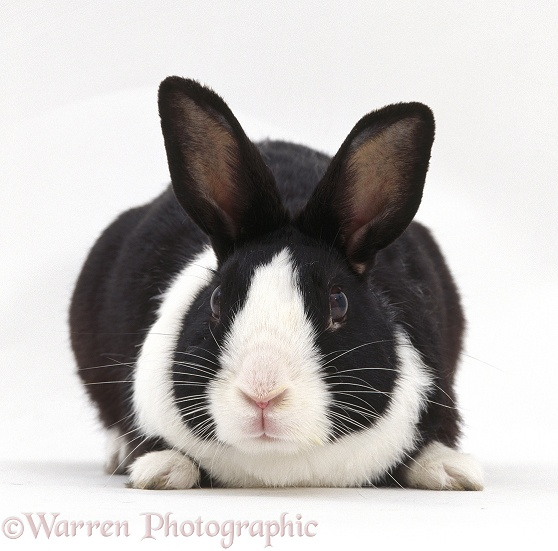 Young black Dutch male rabbit, white background