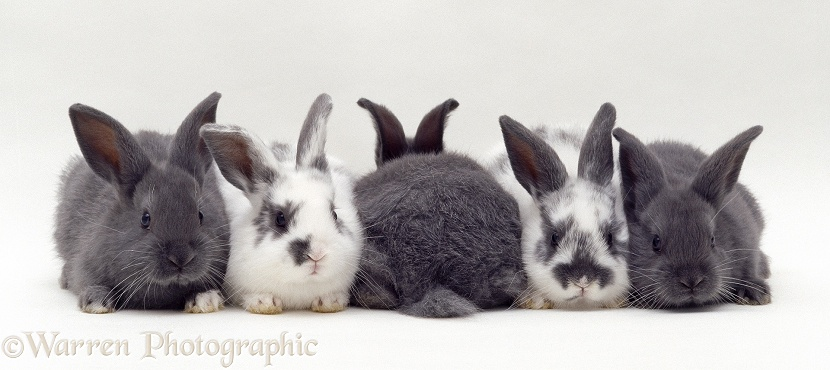 Five Blue and spotted baby rabbits, one back view, white background