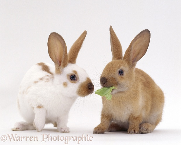 Fawn spotted and Sooty fawn rabbits, young siblings, 8 weeks old, feeding on lettuce leaf, white background