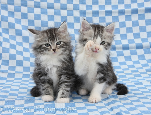 Tabby-and-white Maine Coon-cross kittens, 7 weeks old, sitting on blue gingham cloth