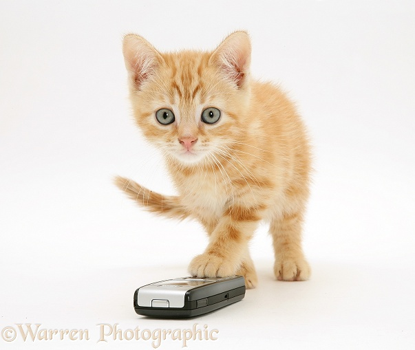 Ginger kitten Benedict with a mobile phone, white background