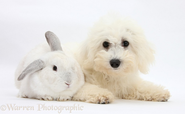 Bichon Frise dog, Louie, 4 months old, with a white rabbit, white background