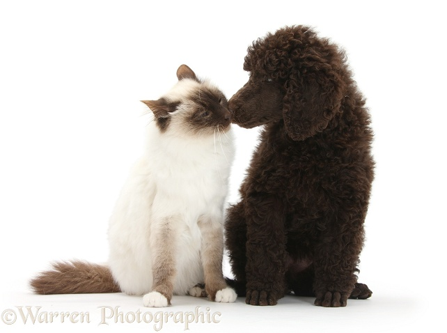 Chocolate Standard Poodle pup, Tara, 8 weeks old, with Chocolate Birman cat, Rolo, 1 year old, white background