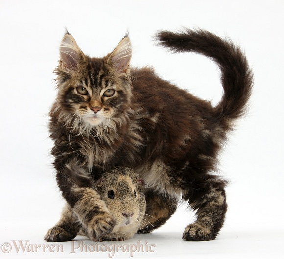 Tabby Maine Coon kitten, Logan, 12 weeks old, with guinea pig, white background
