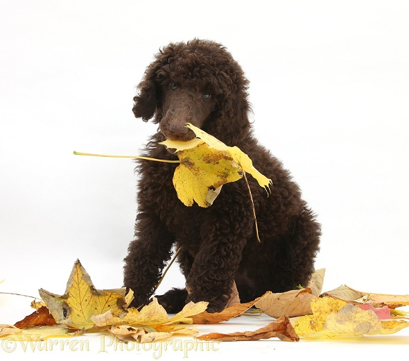Chocolate Standard Poodle pup with autumn leaves