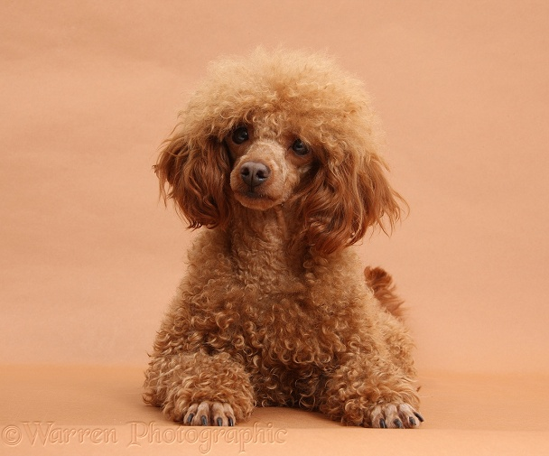 Red Toy Poodle, Reggie, 1 years old