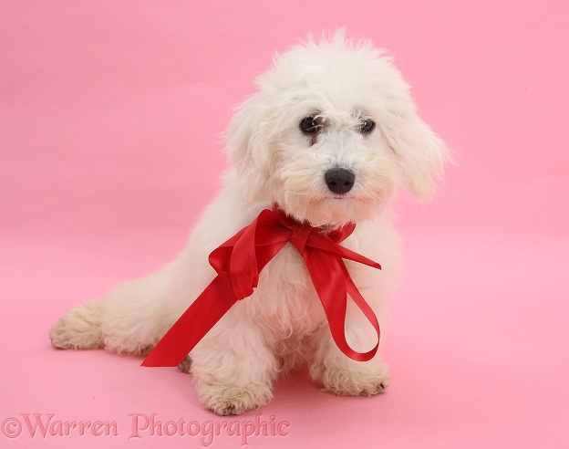 Bichon Frise dog, Louie, 4 months old, wearing a red ribbon
