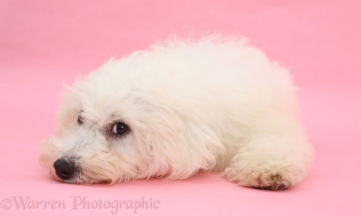 Bichon Frise dog, Louie, 4 months old, lying with his chin on the floor