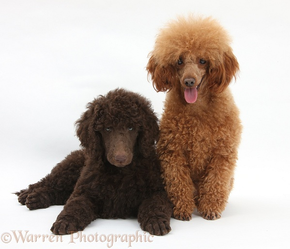 Chocolate Standard Poodle pup, Tara, 8 weeks old, with adult Red Toy Poodle, Reggie, 1 years old, white background