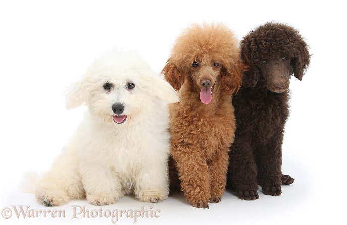 Chocolate Standard Poodle pup, Tara, 8 weeks old, with adult Red Toy Poodle, Reggie, 1� years old, and Bichon Frise dog, Louie, 4 months old, white background