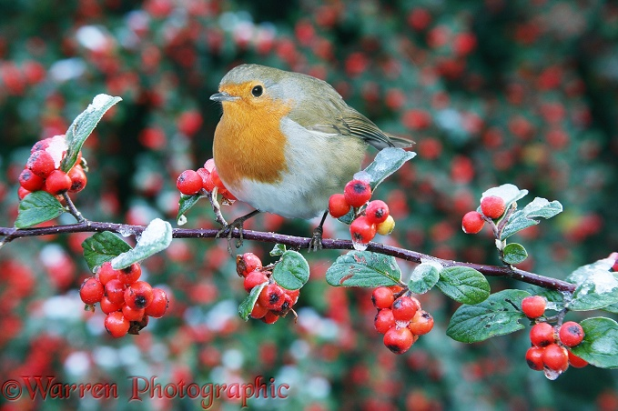 European Robin (Erithacus rubecula) on berry-laden Cotoneaster (Cotoneaster franchetii) after a light snowfall in October.  Europe