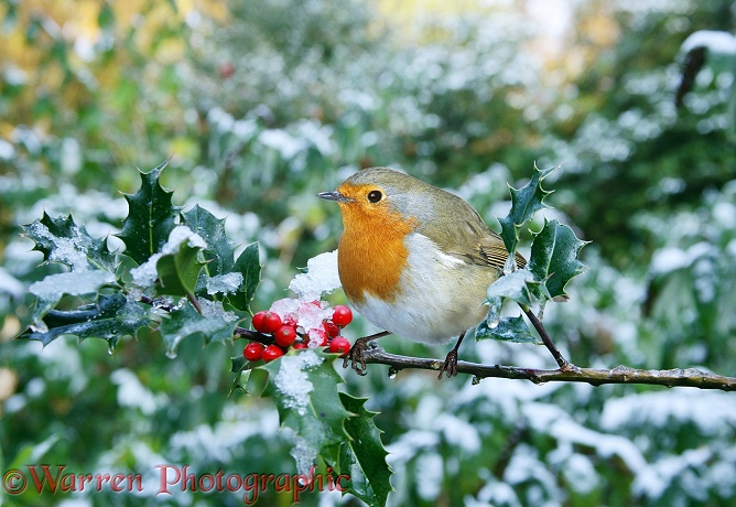 European Robin (Erithacus rubecula) on Holly (Ilex aquifolium) after a light snowfall in October.  Europe