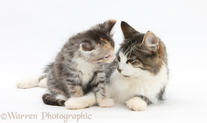 Mother cat and kitten, 7 weeks old, white background