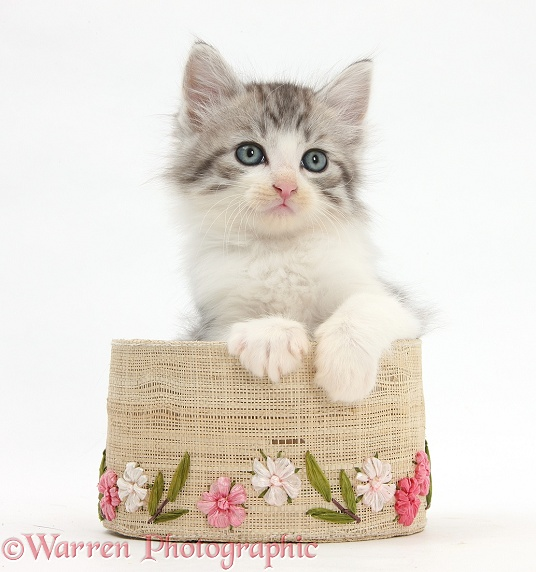 Maine Coon-cross kitten, 7 weeks old, in a basket, white background