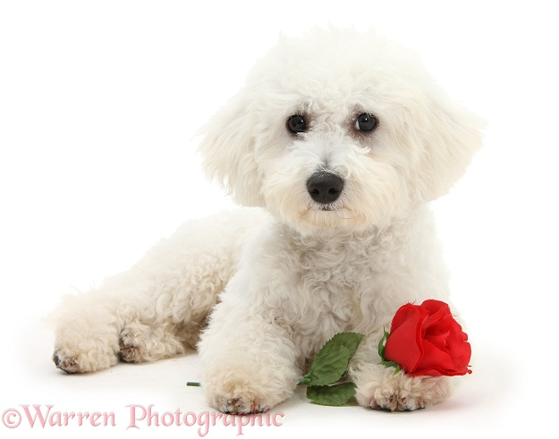 Bichon Frise dog, Louie, 5 months old, with a red rose, white background
