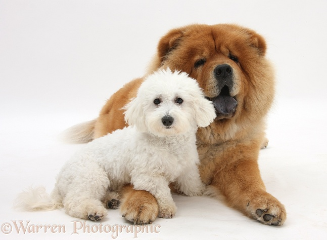 Bichon Frise dog, Louie, 5 months old, with Chow Chow dog, Chico, white background