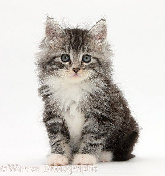Maine Coon-cross kitten, 7 weeks old, white background