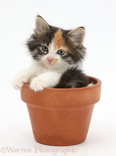 Tabby tortoiseshell Maine Coon-cross kitten, 7 weeks old, in a flowerpot, white background