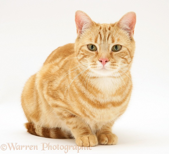 Ginger cat, Benedict, white background