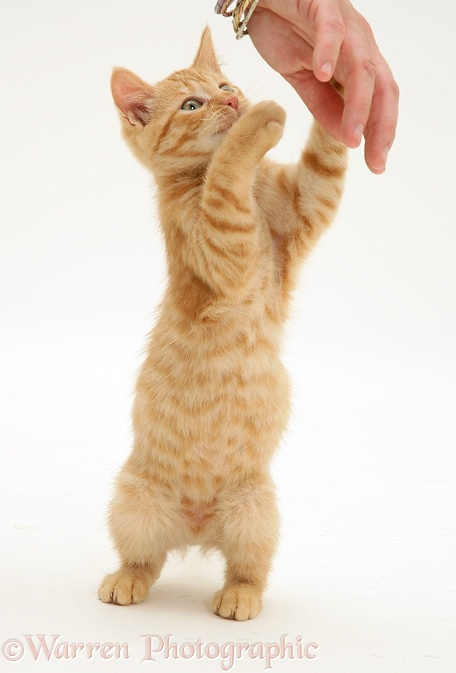 Ginger kitten Sparkle, 10 weeks old, grabbing a person's hand, white background