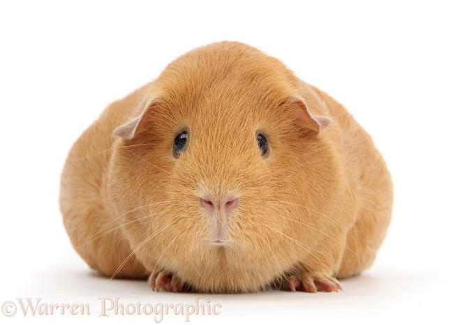 Pregnant red guinea pig with very large belly, white background