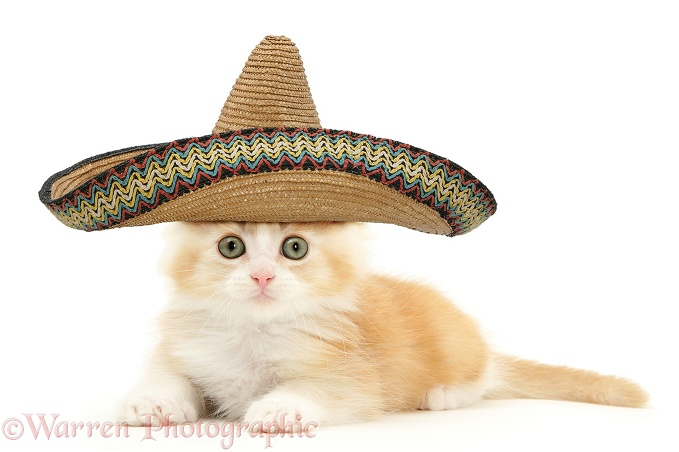 Ginger Maine Coon kitten with sombrero hat on, white background