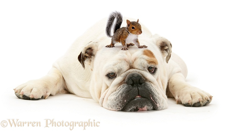 Bulldog and Squirrel, white background