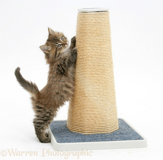 Maine Coon kitten, 7 weeks old, using a scratch post, white background