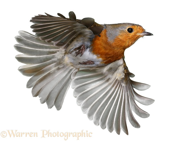 European Robin in flight.  Europe, white background