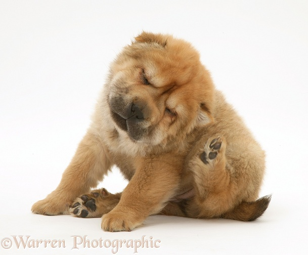 Shar-pei pup scratching, white background