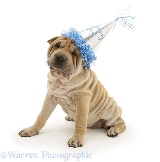 Shar-pei pup wearing a birthday party hat, white background