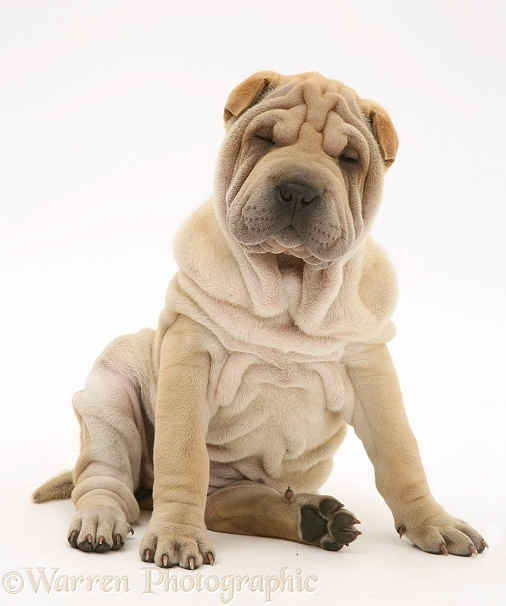 Shar-pei puppy, Beanie, white background