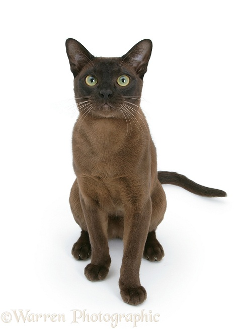 Burmese male cat, Murray, 9 months old, sitting, white background