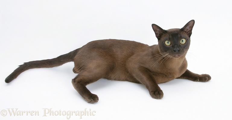 Burmese male cat, Murray, 9 months old, lying with head up, white background