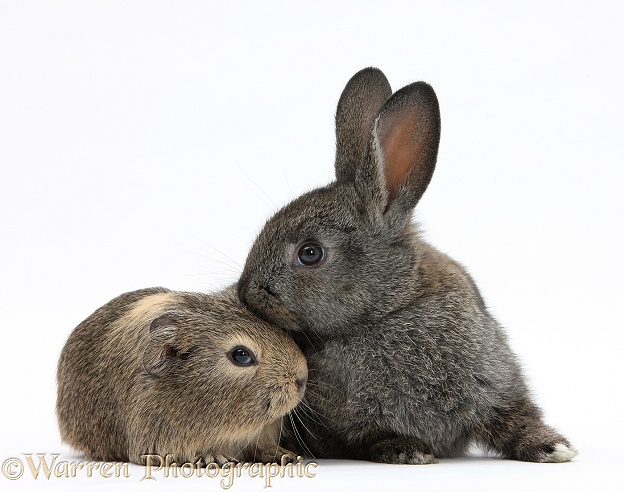 Baby agouti rabbit and baby yellow-agouti Guinea pig, white background
