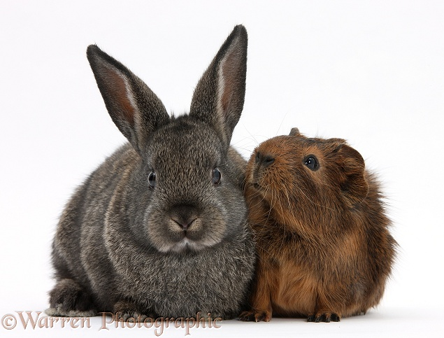 Pets: Baby agouti rabbit and baby red-agouti Guinea pig ...