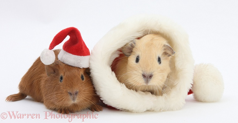 Baby Guinea pigs with Father Christmas hats, white background