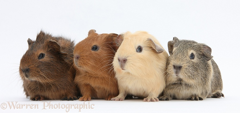 Four baby Guinea pigs, white background